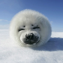 Baby seal canadian seal